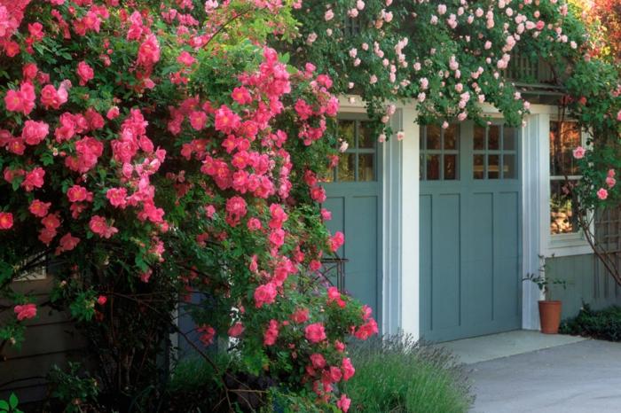 jardines modernos, rosas enredaderas en la puerta de la casa, arbustos grandes de rosas en color fucsia, puerta alta en azul