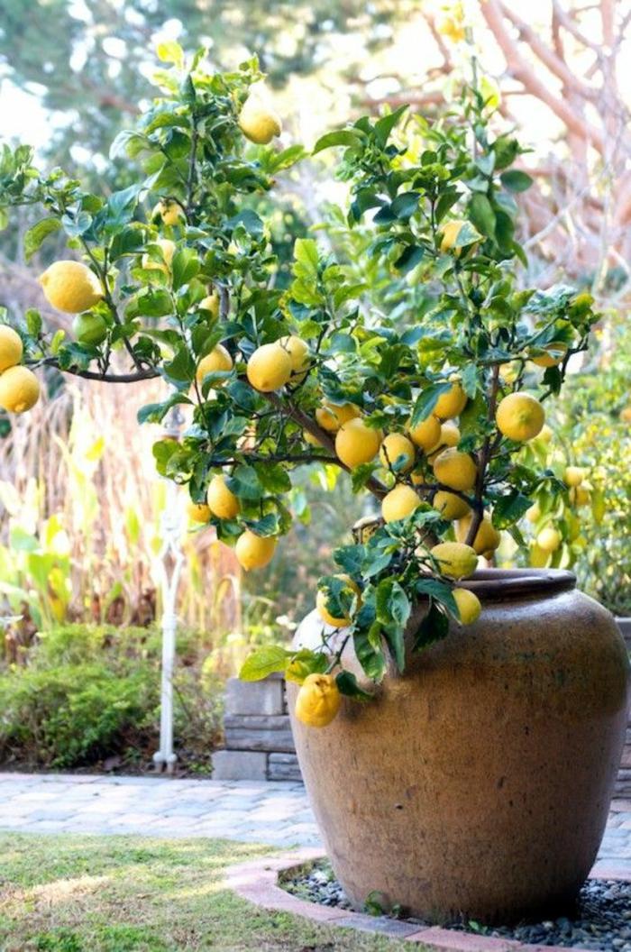 maceteros grandes, decoración de jardín con maceta grande de barro, limonero con frutas maduras