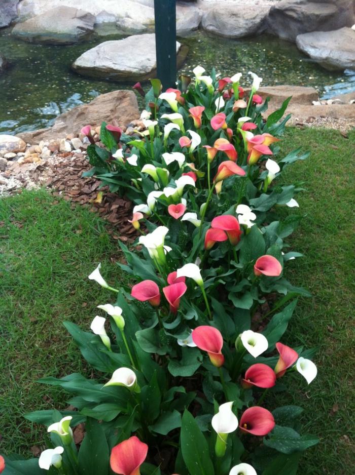 jardines rústicos , decoración con flores blancas y rojas, callas en el césped de casa
