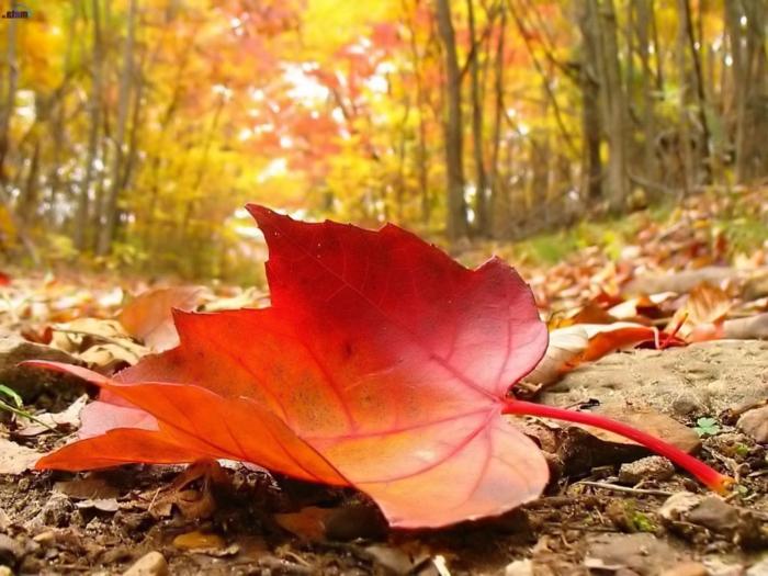 paisajes de otoño, hoja grande de color rojo en el suelo con las hojas caidas, bosque alrededor