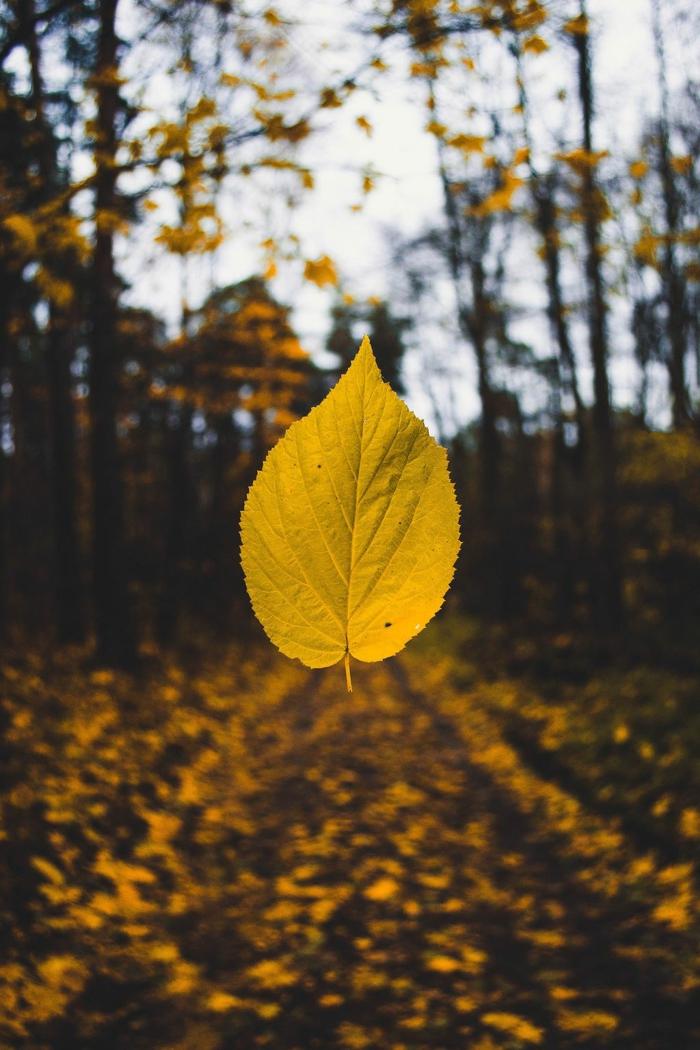 imagenes de otoño con el suelo lleno de hojas amarillas con una hoja en el fondo borroso de arboles