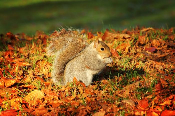 imagenes de paisajes naturales, ardilla comiendo en el césped verde lleno de hojas amarillas y rojas