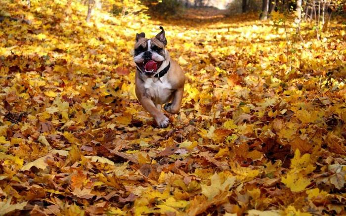 imagenes otoñales, perro corriendo en las hojas de otoño de color amarillo todas, en el bosque