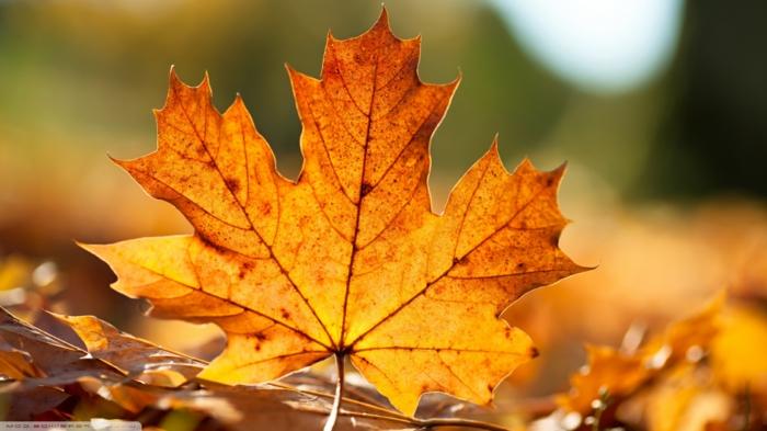 imagenes de paisajes naturales, hoja otoñal de color naranja con el fondo borroso