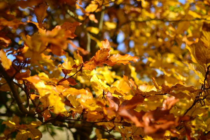 imagenes de paisajes naturales, hojas amarillas de otoño en las ramas con el fondo azul celeste