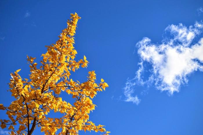 imagenes de paisajes naturales, hojas amarillas en las ramas del arbol otoñal con nubes blancas en el cielo