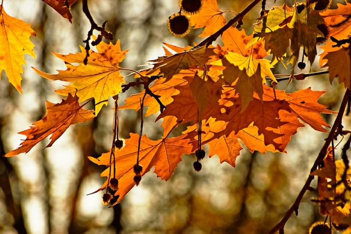 imagenes otoñales, hojas de otoño de diferentes colores con el fondo del bosque borroso