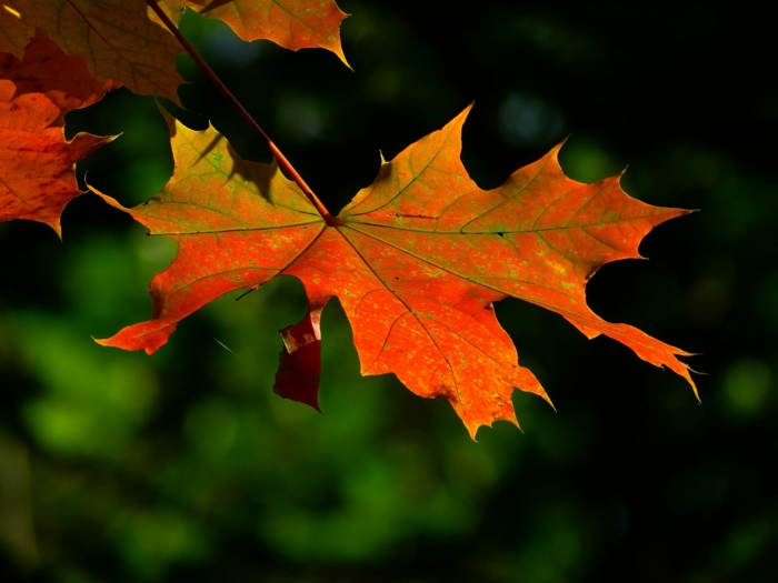 imagenes otoñales, hoja de color rojo colgando del arbol con el fondo verde borroso