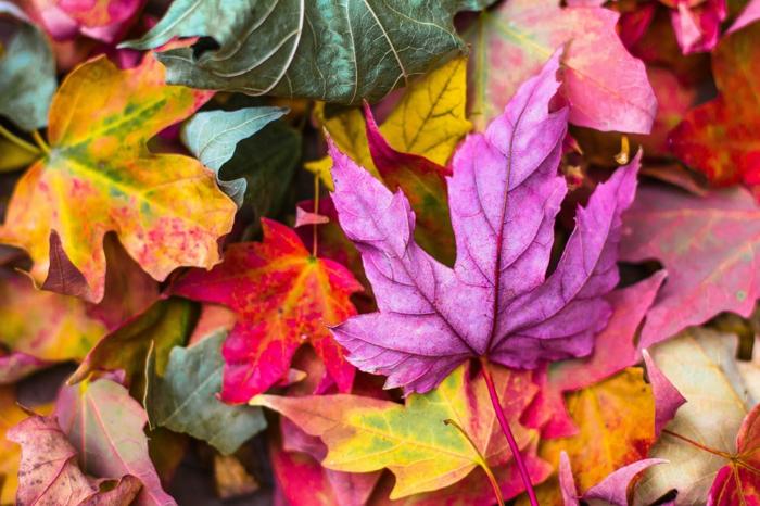 imagenes otoñales, suelo lleno de hojas de diferentes colores, hojas otoñales de color lila, amarillo
