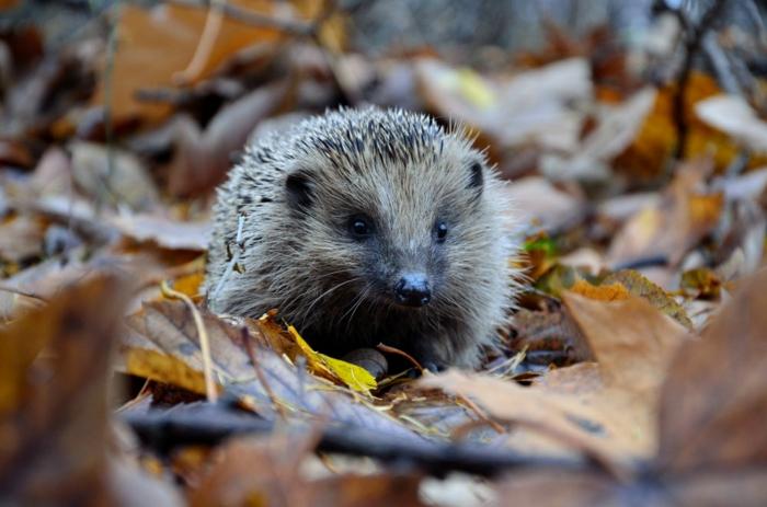 paisajes de ensueño, erizo en el suelo lleno de hojas de otoño arrugadas en el suelo
