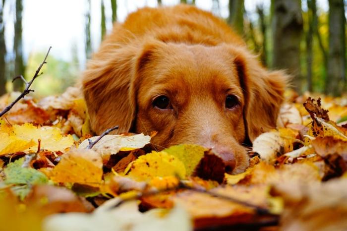 paisajes de otoño, perro en el suelo tumbado con las hojas de otoño esparcidas de diferentes colores