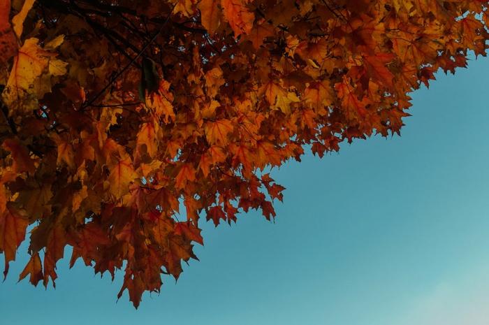 paisajes hermosos, cielo azul celeste con una parte del arbol otoñal con hojas rojas y naranjas
