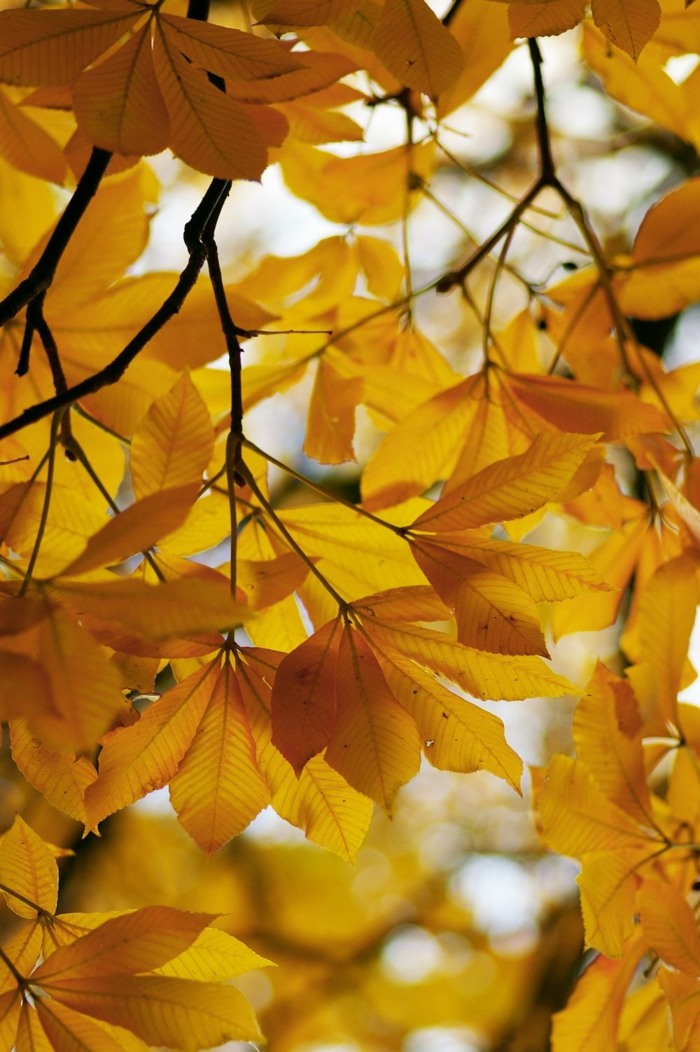 paisajes hermosos, hojas amarillas en el arbol en las ramas con el cielo al fondo