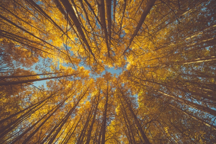 paisajes preciosos, arboles de hojas amatillas, foto hecha desde abajo con fondo del cielo azul