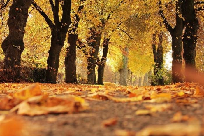 paisajes preciosos, bosque con arboles de hojas de color amarillo con hojas caidas en el suelo