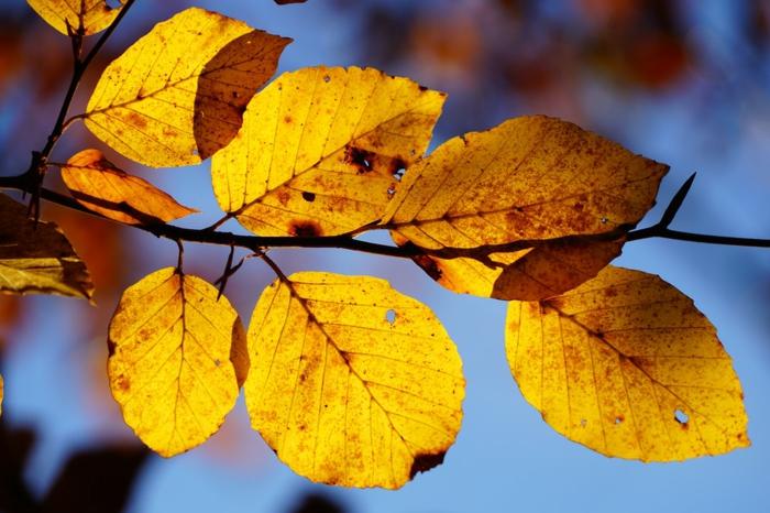 paisajes relajantes, hojas amarillas en la rama de un arbol, con el fondo azul celeste