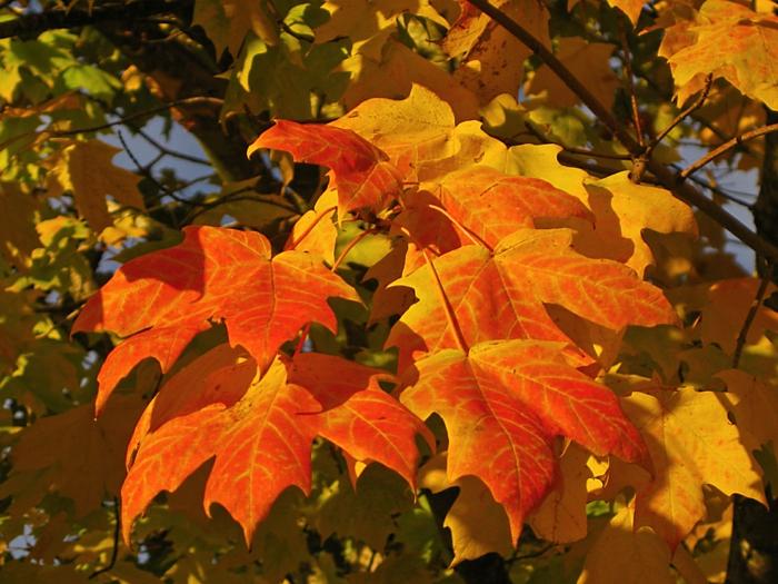 paisajes relajantes, hojas en el arbol con diferentes colores en rojo y amarillo con el fondo azul y verde