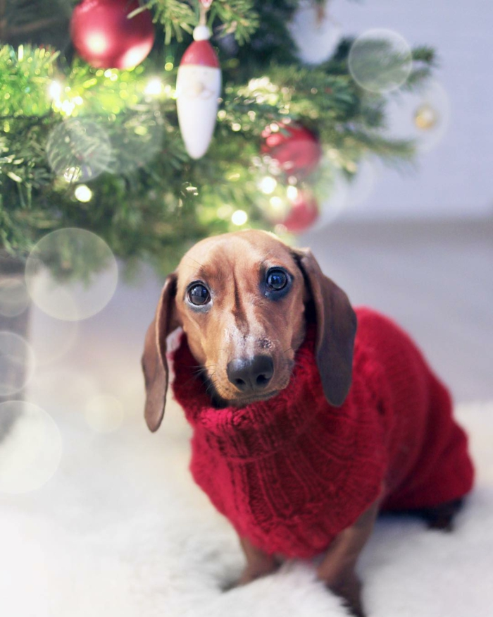 adorables imagines de navidad para enviar e tus amigos, árbol de navidad y perro tejonero con abrigo