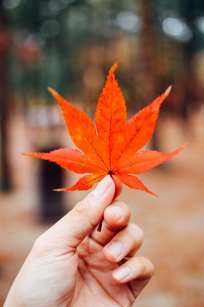 adorables propuestas de fondos apple, hojas otoñales caídas en colores bonitos, paisajes del otoño