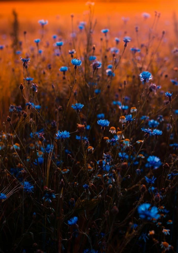 hermosas flores en color azul para tu fondo de pantalla, fondos de pantalla gratis, fotografías en colores bonitas