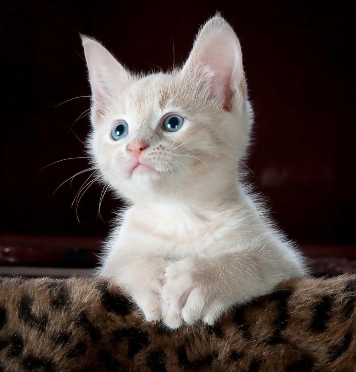 imagenes bonitas para fondo con animalitos, adorable foto de gato para poner en tu pantalla, foto blanco bonito con los ojos azules, imagines de animales tiernos