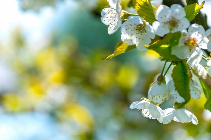 preciosas imagines de la naturaleza, árbol florecido de cereza, fondos de pantalla bonitos, las mejores ideas de imagines para árboles