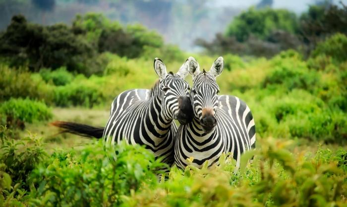 adorable pareja de zebras en la savana, originales imagines de alta calidad para descargar gratis, fotos de calidad HD