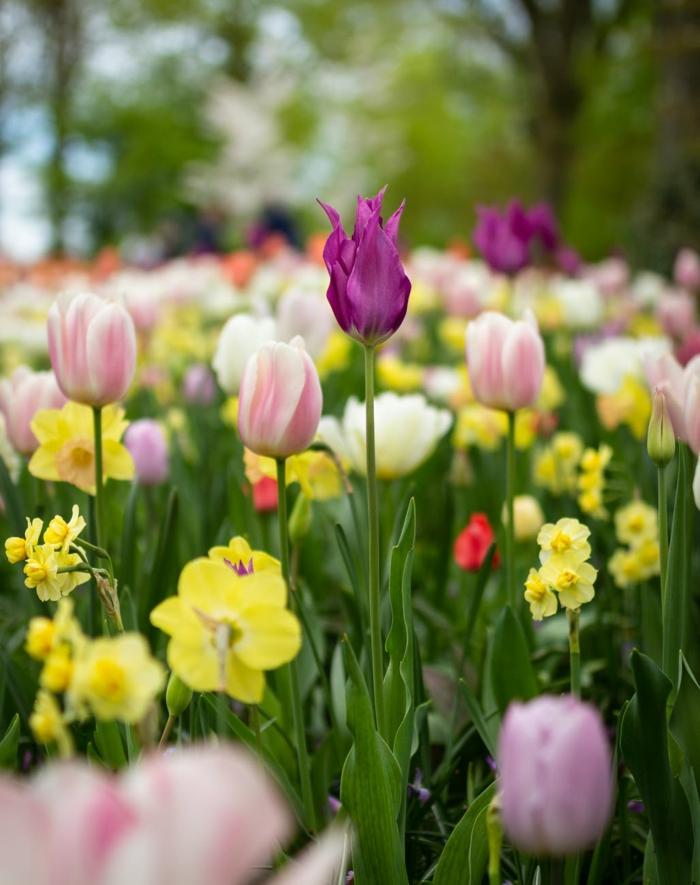 tulipanes en diferentes formas y colores, fondos de pantalla primavera е imagenes de paisajes, bonitas imagenes de flores