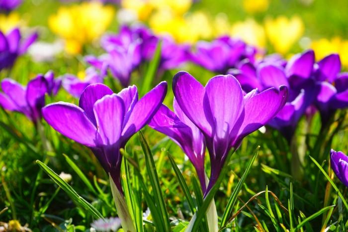 azafranes en color lila y amarilo, originales ideas de fotos que imprimir y colgar en la pared, flores de primavera hermosas