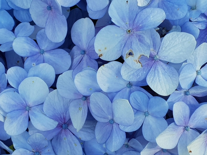 preciosas flores en color azul, los mejores fondos de pantalla con flores, ideas de fondos de pantalla para descargar