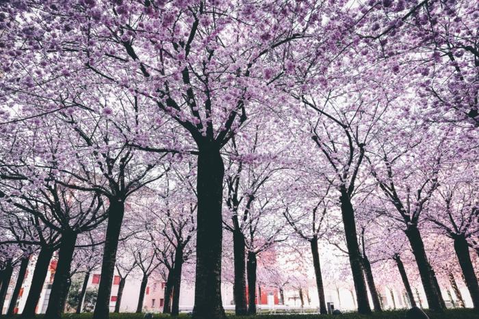 paisajes naturales de árboles florecidos en primavera, frutales florecidos en japon, las imagenes más bonitas para descargar