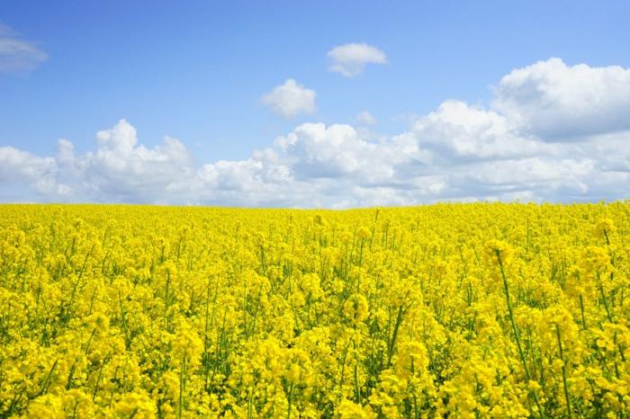 campo de flores en color azul, cielo con nubes, las mejores ideas de los mejores fondos de pantalla, fotos de flores