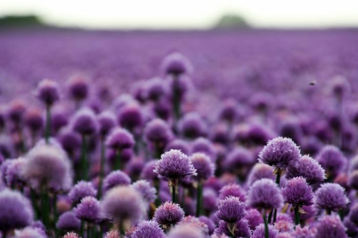 fotos de primavera con flores, campo de lavanda, las mejores imagenes para tu fondo de pantalla, fotos inspiradoras