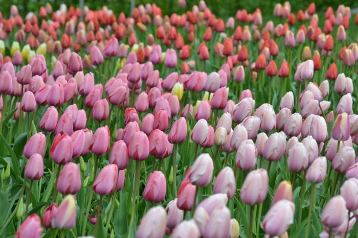 fotos de paisajes bonitos con flores y detalles de la naturaleza, campo con tulipanes en diferentes colores en primavera