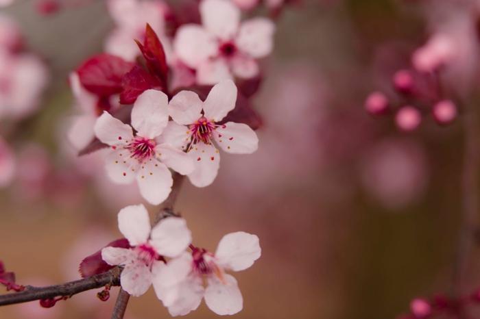 preciosas flores primaverales, la belleza de los frutales flroecidos en plena primavera, fotos de plantas y flores