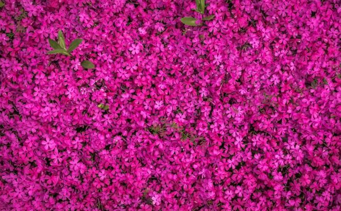 campo de flores bonitas pequeñas en color rosado, los mejores fondos de pantalla para descargar, fotos con flores