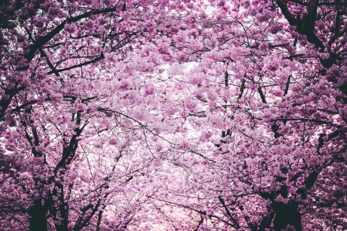 ideas de fotos que calman e inspiran, paisajes preciosos bosque de frutales florecidos en primavera, las mejores imagenes para descargar
