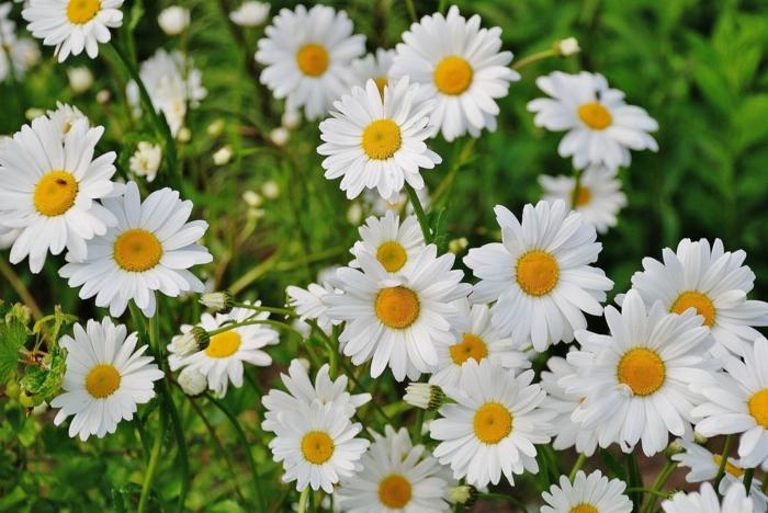 Ideas de fondos de pantalla de flores para descargar y poner como fondos de pantalla, flores blancas bonitas, margartias en primavera