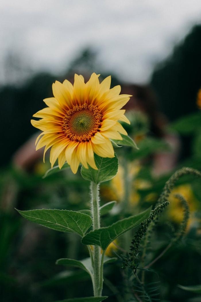 fondos de pantalla relajantes con flores, preciosa fotografia de un girasol, imagenes bonitas de flores en verano para descargar