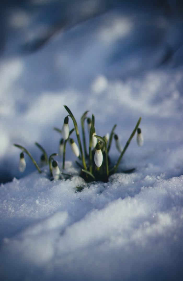 campanillas de febrero en la nieve, fotos que muestran como despierta la naturaleza en primavera en calidad HD para fondos de pantalla
