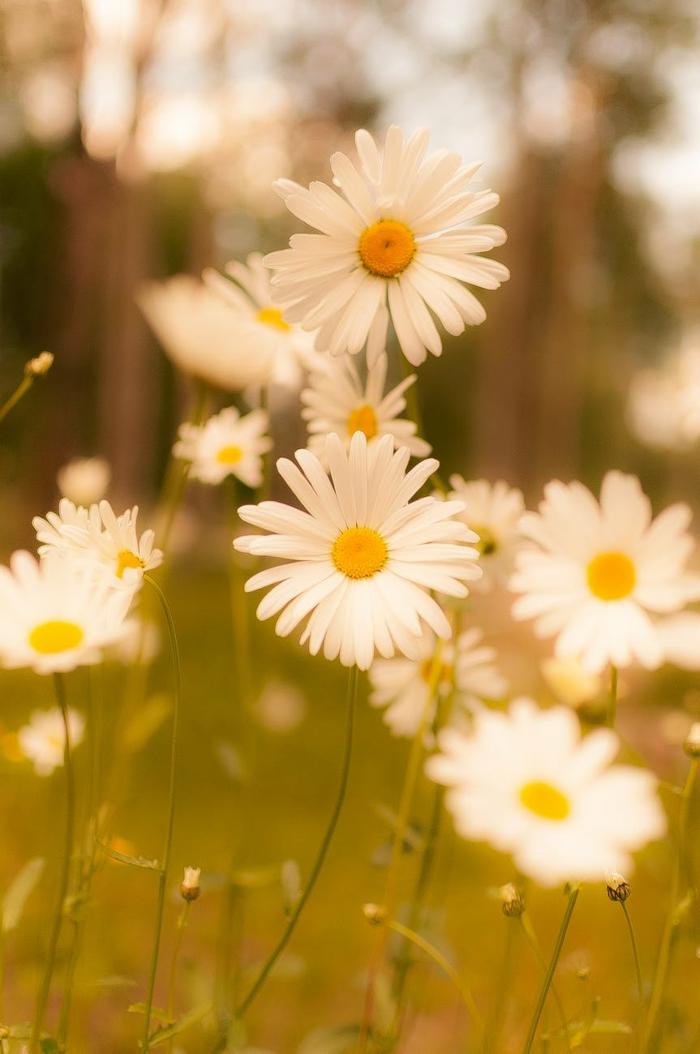 margaritas blancas bonitas, campo de flores bonitos, paisajes bonitos del mundo para descargar, fotos que puedes imprimir