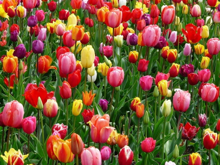tulipanes en diferentes colore, las mejores muestras de fondos de pantalla paisajes, fotos de flores hermosas para descargar