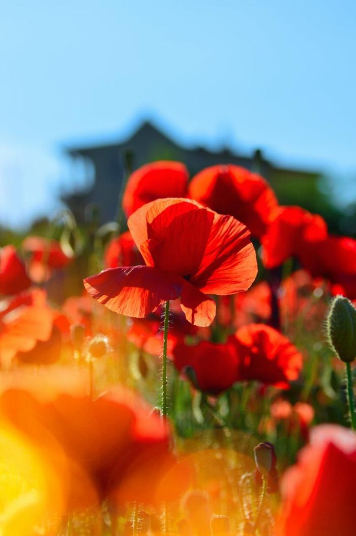 amapolas bonitas en un jardin, flores y rayos del sol, paisajes preciosos con flores primaverales, fotos para descargar