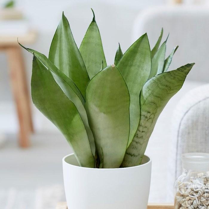 planta serpiente en maceta blanca ideas de plantas que traen buena suerte para decorar tu hogar ideas de plantas
