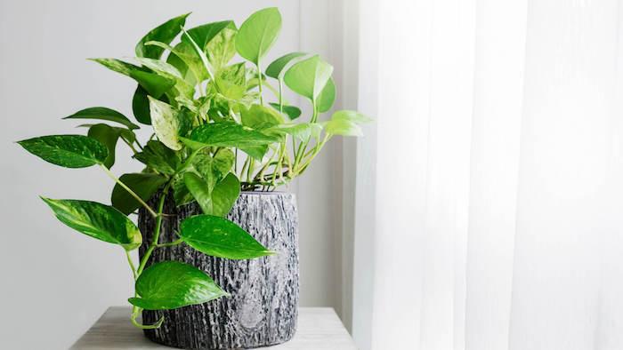 plantas serpiente jade ideas de plantas verdes para decorar el hogar plantas que traen buena suerte