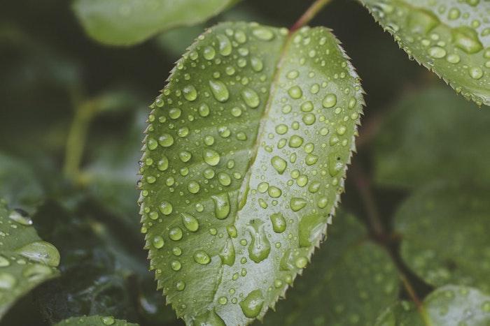 verde planta con gruesas hojas condensación by hojas